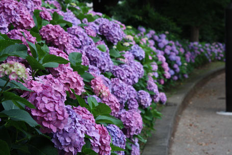 the flower of the rainy season, hydrangea
