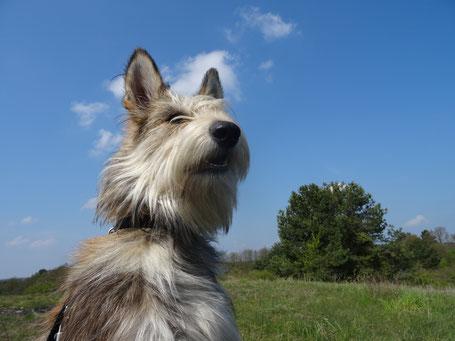 Berger de Picardie, alter französischer Hirtenhund und eigensinniger Freigeist