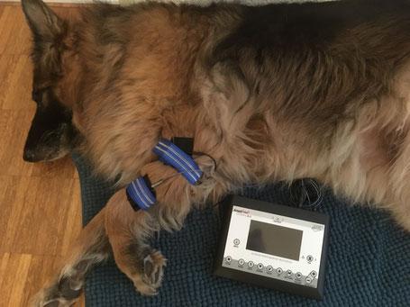 Anima-Balance | Tiertherapie Praxis | Elektrotherapie | Stromtherapie | Pferd | Hund | AmpliVet