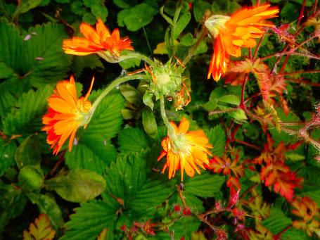 Verblühte RingelblumenMutterBlüte, die vier Tochterblüten um sich gereiht hat, die nun in Blüte stehen.