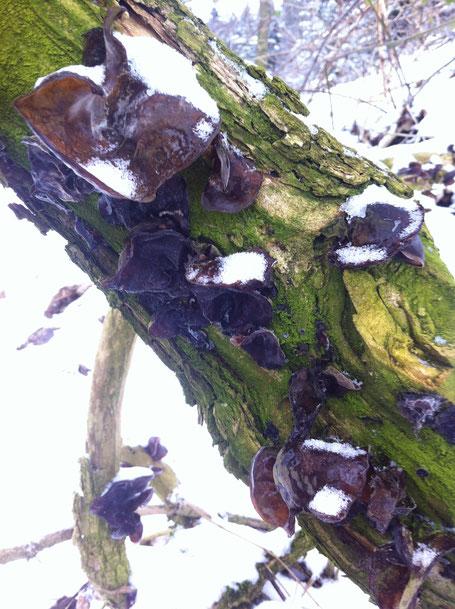 Das Judasohr ist häufig und fruchtet bei uns vor allem an feuchten milden Wintertagen auf alten Holunderbüschen.