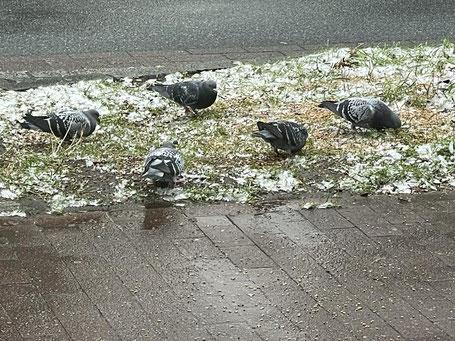 Wilde Tauben (hier in Bremen-Obervieland) suchen nach Futter. Die Tiere hungern im Winter. Durch die Corona Pandemie finden sie auch nur wenig Essensreste, die Bürger ihnen überlassen.
