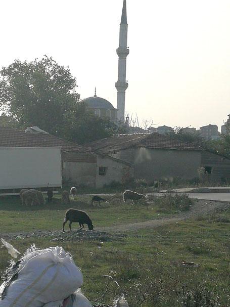 Schafe in Istanbul vor einer Moschee