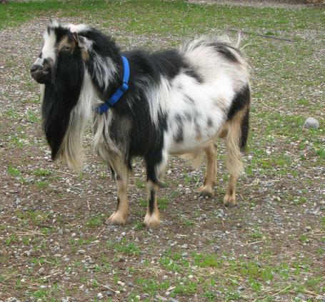 Mini Alpine Dairy Goats - Wasilla Lights Farm