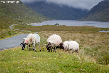 Schafe im Doolough Vally