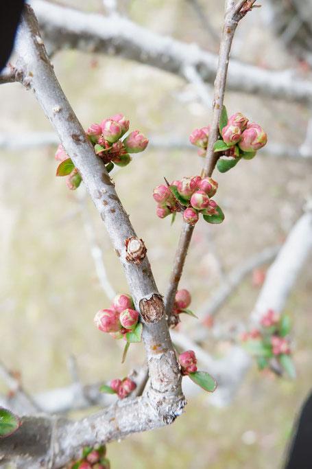 3月3日(日) 教会庭の木瓜(ぼけ)のつぼみたち
