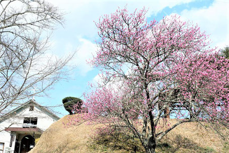 2020年3月15日 十文字平和教会の入口の坂道に咲く〈大木の花桃〉