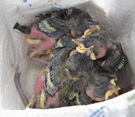 Ein Nest voller junger Kohlmeisen (Foto © Jenewein-Stille)