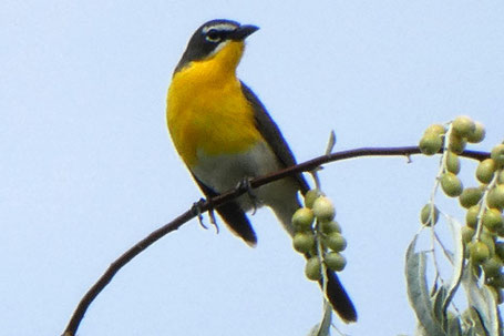 Yellow-Breasted Chat, Icteria virens, New Mexico