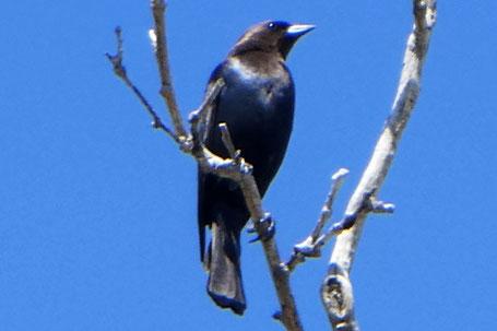 Brown-Headed Cowbird, Molothrus ater, New Mexico