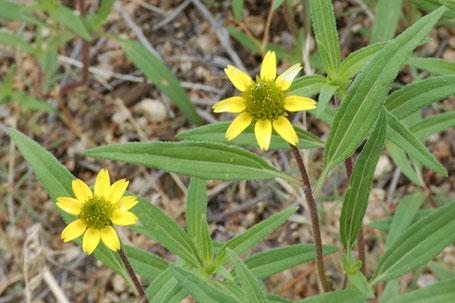 Sanvitalia abertii, New Mexico