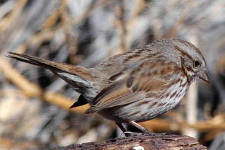 Song Sparrow, Melospiza melodia, New Mexico