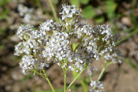Pepperweed, Lepidium, New Mexico