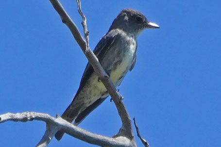 Olive-Sided Flycatcher, Contopus cooperi, New Mexico