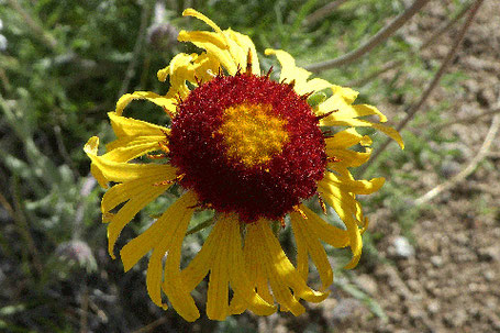 Red Dome Blanketflower, Gaillardia pinnatifida, New Mexico