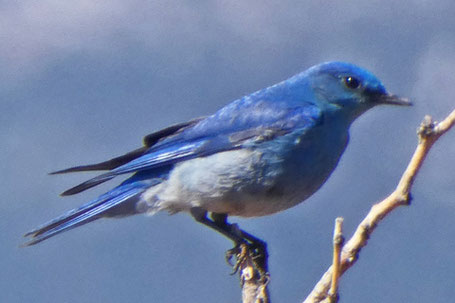 Mountain Bluebird, Sialia currucoides, New Mexico