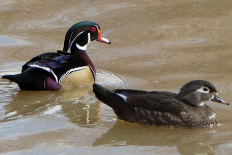 Wood Duck, Aix sponsa, New Mexico