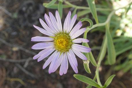 Rocky Mountain Townsend Daisy, Townsendia eximia, New Mexico