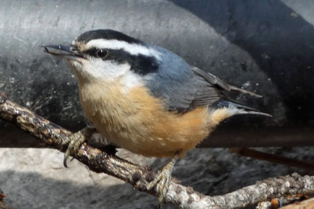 White-Breasted Nuthatch, Sitta carolinensis, New Mexico