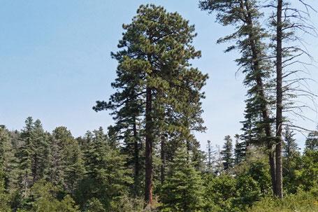 Ponderosa Pine, Pinus ponderosa, New Mexico