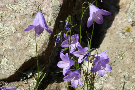 Harebells, Campanula rotundifolia, New Mexico