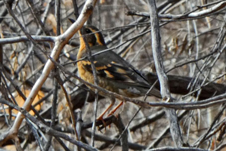 Green-Tailed Towhee, Pipilo chlorurus, New Mexico