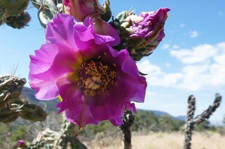 Cane Cholla, Cylindropuntia imbricata, Cactaceae, New Mexico