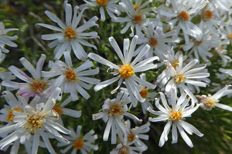 Baby Aster, Chaetopappa ericoides, New Mexico