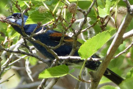 Blue Grosbeak, Passerina  caerulea, New Mexico