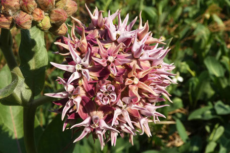 Showy Milkweed, Asclepias speciosa, New Mexico