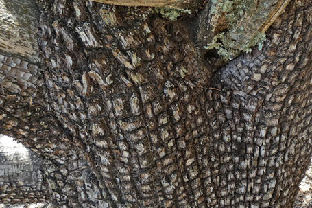 Alligator Juniper, Juniperus deppeana, New Mexico