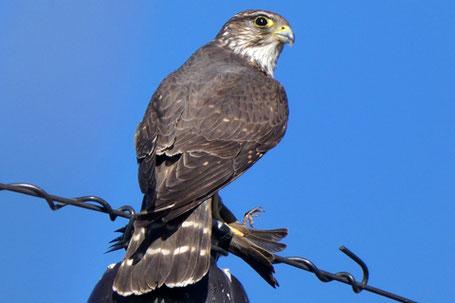 American Kestrel, Sparrow Hawk, Falco sparverius