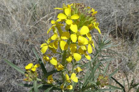 Western Wallflower, Erysimum capitatum, New Mexico