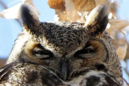 Great Horned Owl, Bubo virginianus, New Mexico