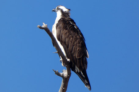 Osprey, Pandion haliaetus, New Mexico