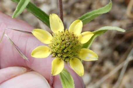 Showy Goldeneye, Heliomeris multiflora, New Mexico