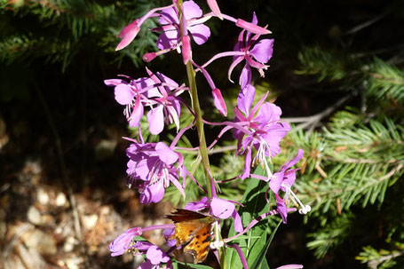 Fireweed, Chamerion angustifolium, New Mexico