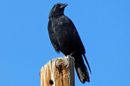 American Crow, Corvus brachyrhynchos, New Mexico