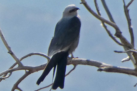 Mississippi Kite, Ictinia mississippiensis, New Mexico