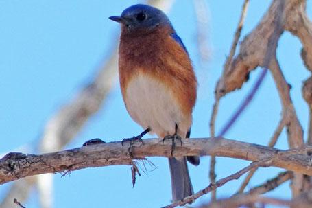 Eastern Bluebird, Sialia sialis, New Mexico