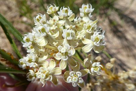 Horsetail Milkweed, Yerba lechosa, Asclepias subverticillata, New Mexico