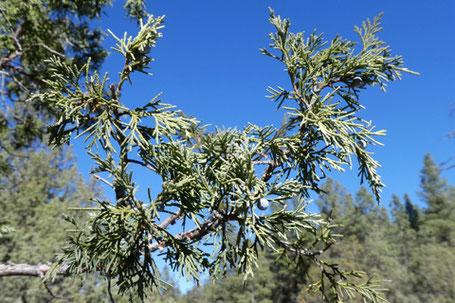 Rocky Mountain Juniper, Juniperus scopulorum, New Mexico