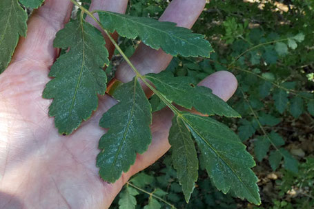 Golden Rain-Tree, Koelreuteria paniculata, New Mexico