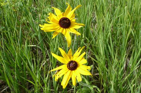 Black-eyed Susan, Rudbeckia hirta, New Mexico