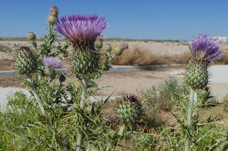 Yellow-Spine Thistle, Cirsium ochrocentrum, New Mexico