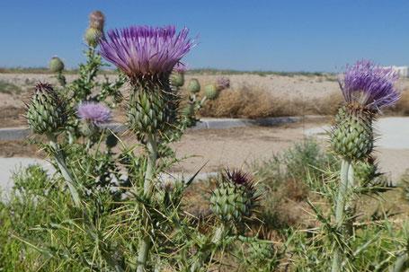 Yellow-Spine Thistle, Cirsium ochrocentrum, New Mexico