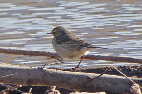 Buff-Bellied Pipit, American Pipit, Anthus rubescens, New Mexico