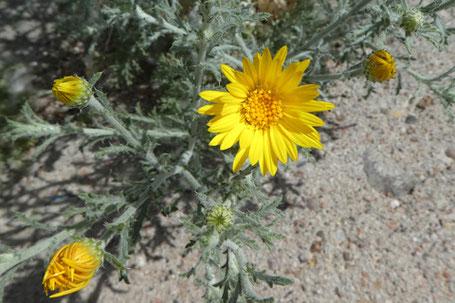 Annual Goldenweed, Xanthisma
