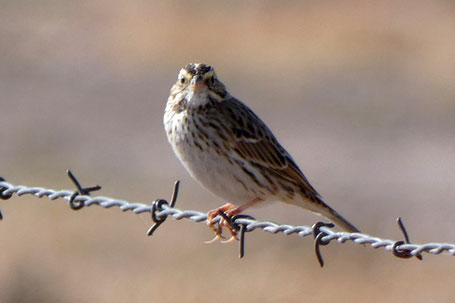 Savannah Sparrow, Passerculus sandwichensis, New Mexico