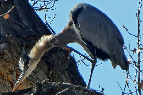 Black-Crowned Night Heron, Nycticorax nycticorax, New Mexico